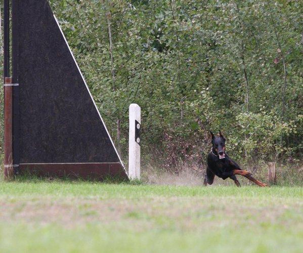 Hunde Dobermannzwinger Vom Beuchower Hof
